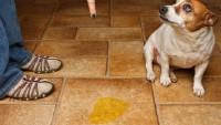 Köpek İdrar Kokusu Nasıl Giderilir?