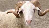 Kurbanlık Hayvan Nasıl Seçilir?