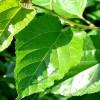 Dut Yaprağı Çayı Nasıl Demlenir?