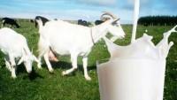 Keçi Sütü Nasıl Mayalanır?