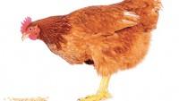 Tavuklar Kaç Derece Soğuğa Dayanır?