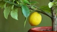 Aşısız Limon Meyve Verir mi?
